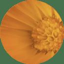 Botanical Beauty - Calendula-mandarijn